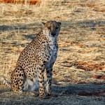 cheetah-1170149_1920